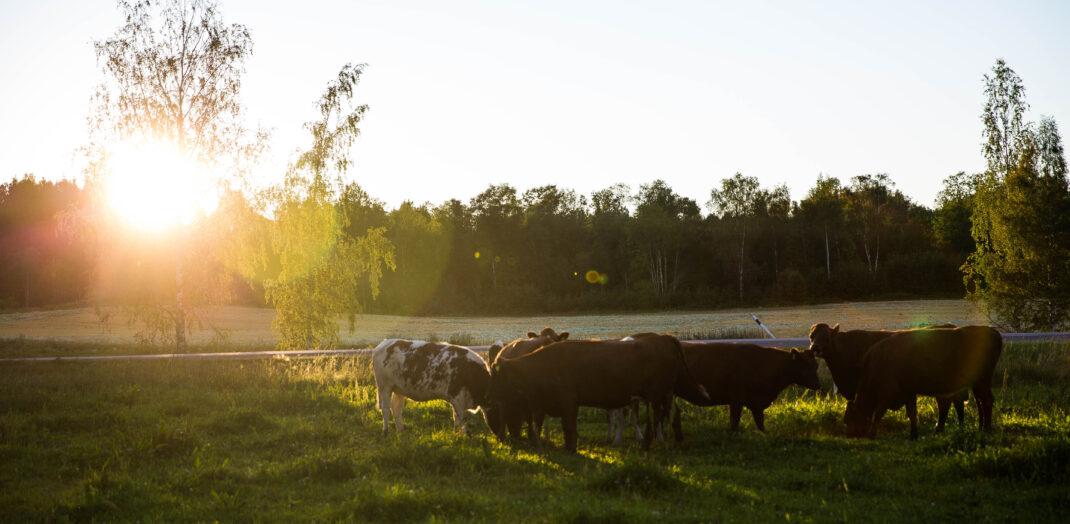 Kor på en sommaräng.