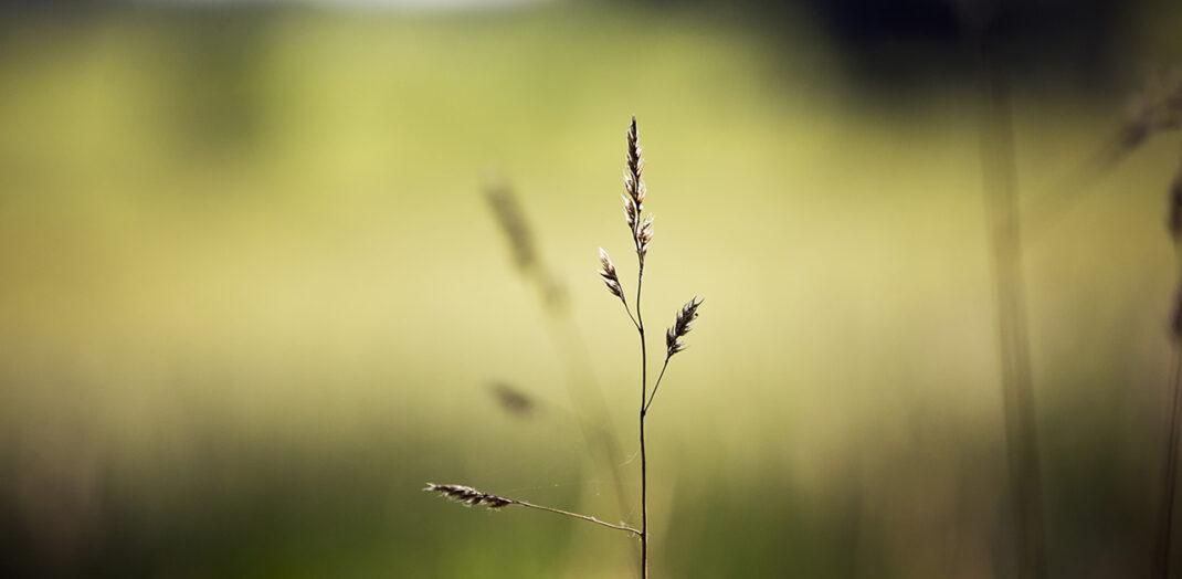 Närbild på grässtrå i djupfokus.