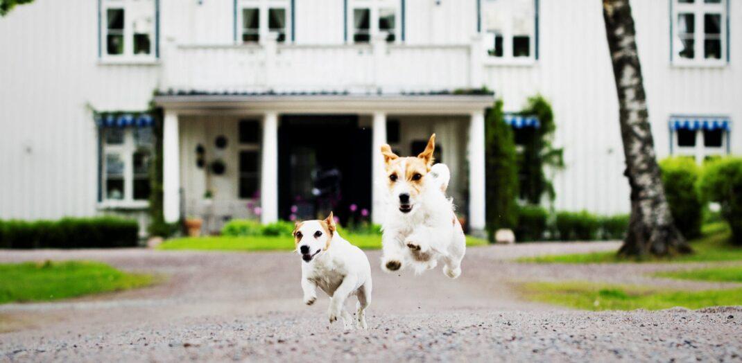 Två hundar som skuttar mot kameran, med Ulvsby herrgård i bakgrunden.